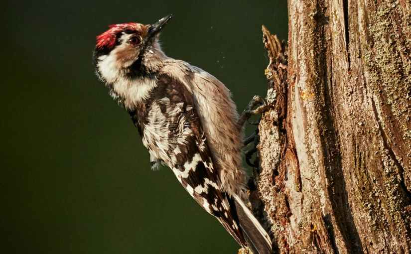 The Woodpecker Variations