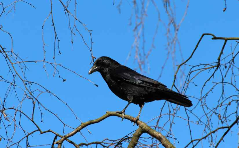 Crows in the Coppice